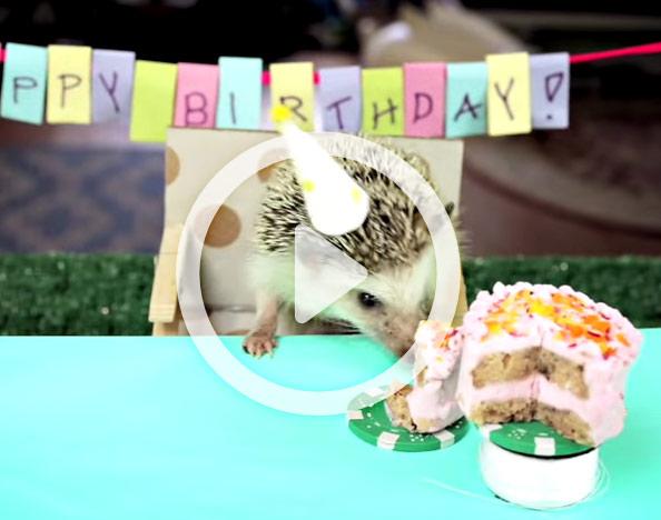 Denizen's Adorable Video: Tiny Birthday For A Tiny Hedgehog