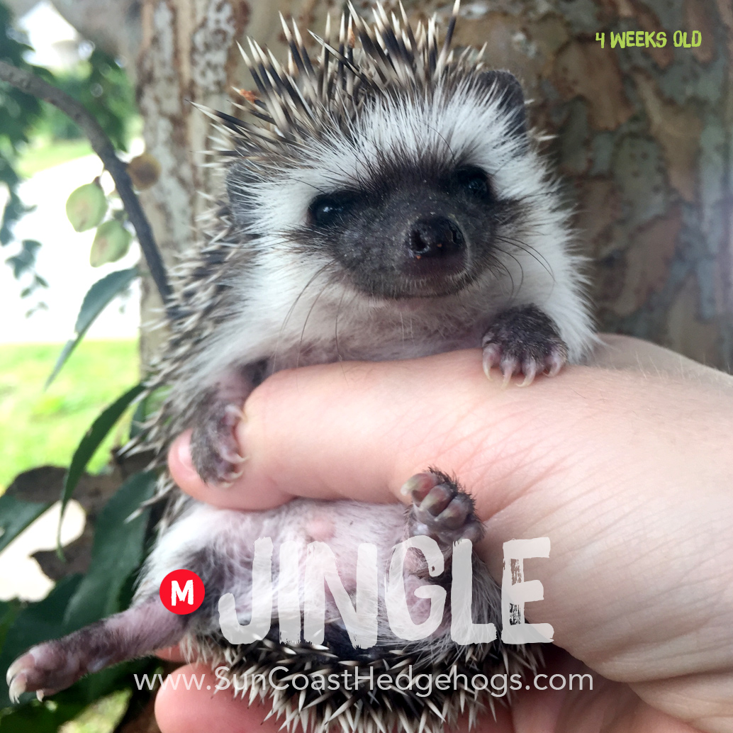 Black - Hedgehog for Sale - Jingle