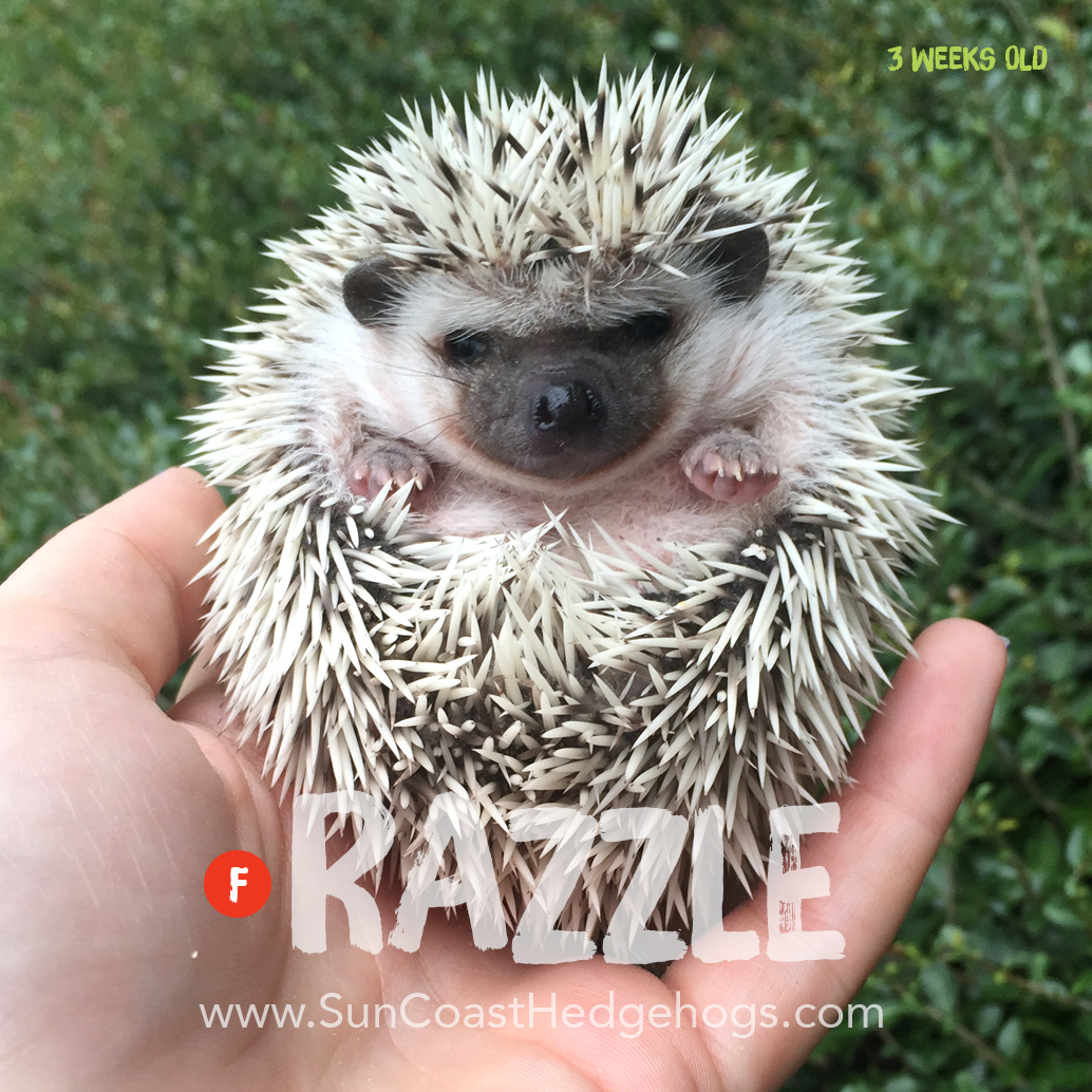 75% Snowflake - Hedgehog for Sale - Razzle