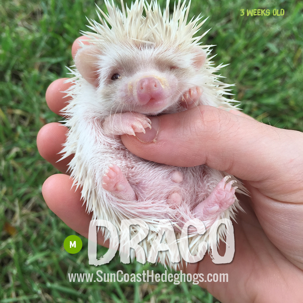 CinnamonPinto - Hedgehog for Sale - Draco