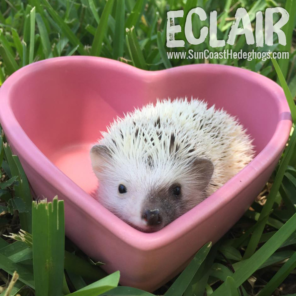 Pinto - Hedgehog for Sale - Eclair
