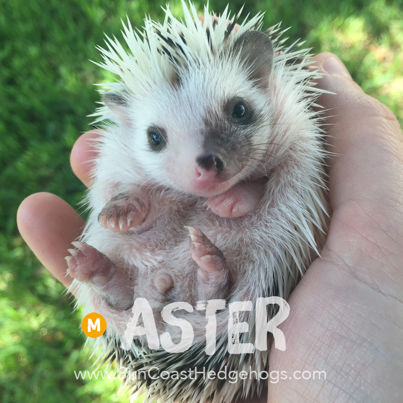 GreyPinto - Hedgehog for Sale - Aster