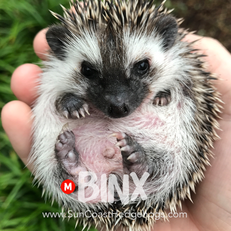 Black - Hedgehog for Sale - Binx