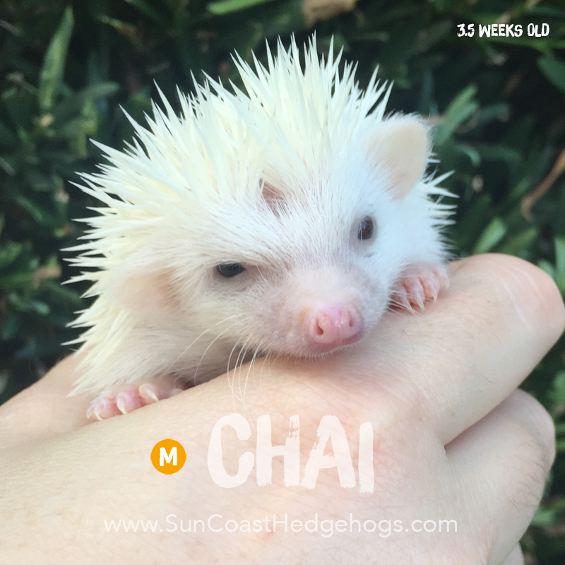 More pictures of Chai