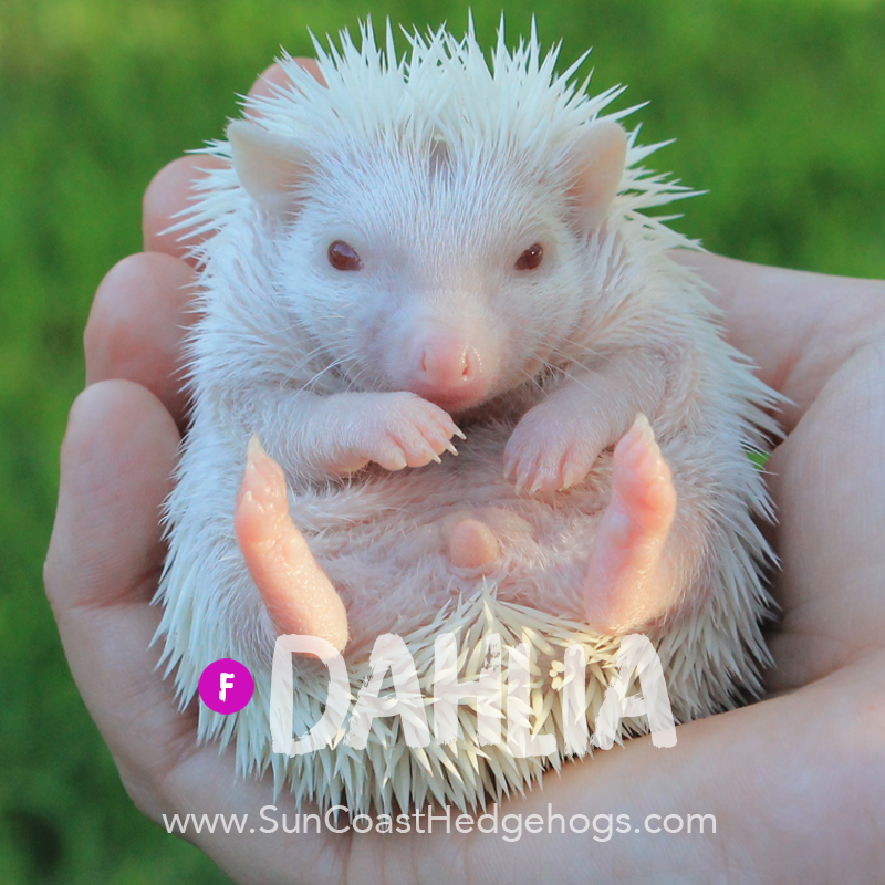 Oak BrownPinto - Hedgehog for Sale - Dahlia
