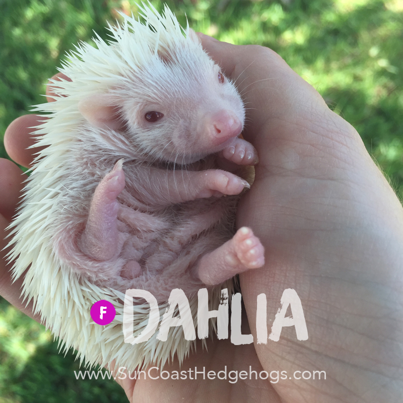 More pictures of Dahlia
