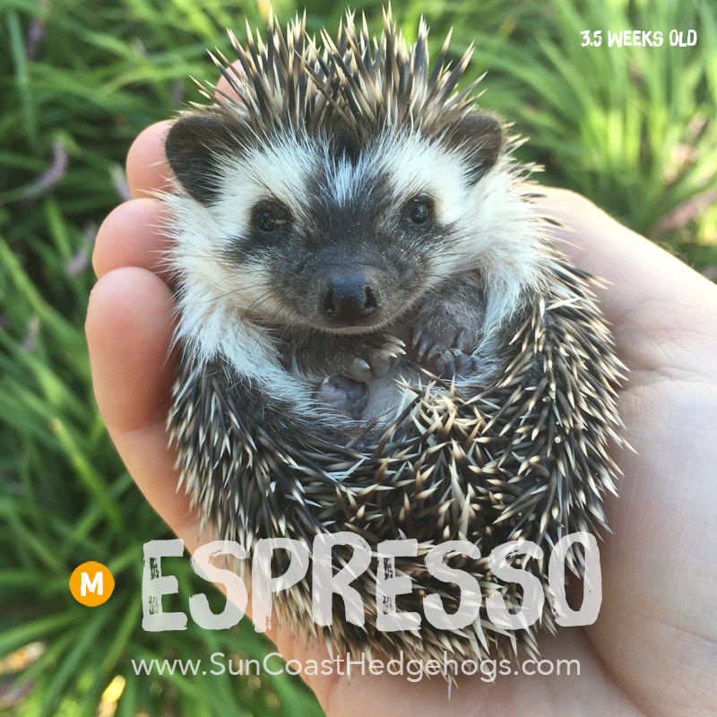 BlackPinto - Hedgehog for Sale - Espresso