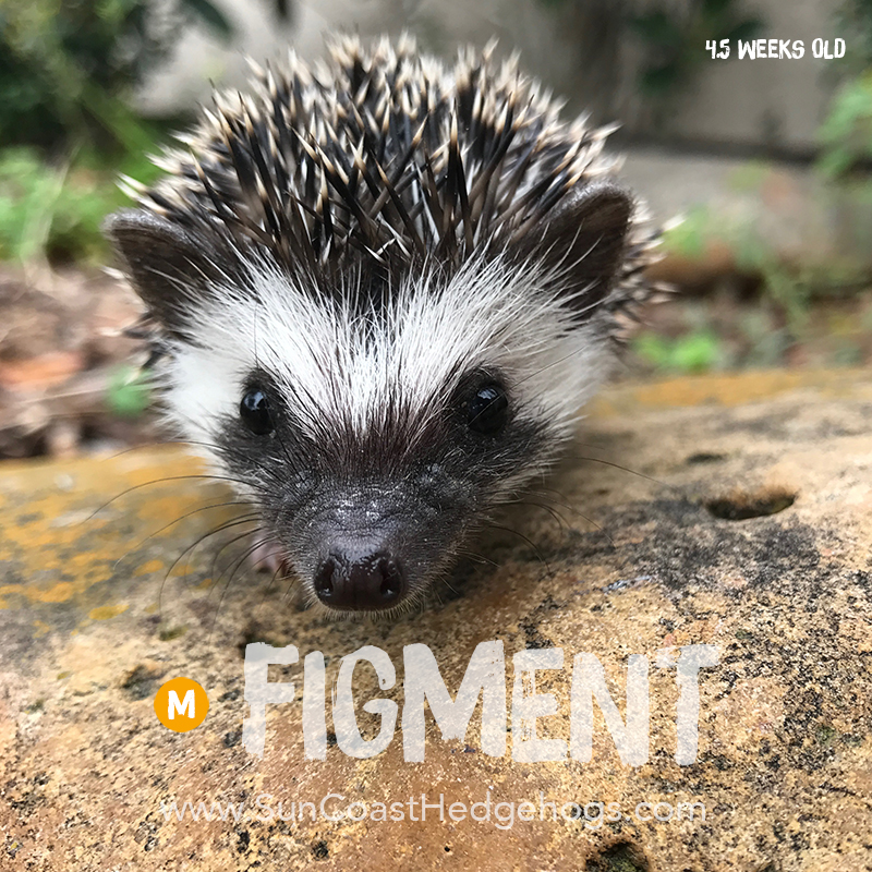 BlackPinto - Hedgehog for Sale - Figment