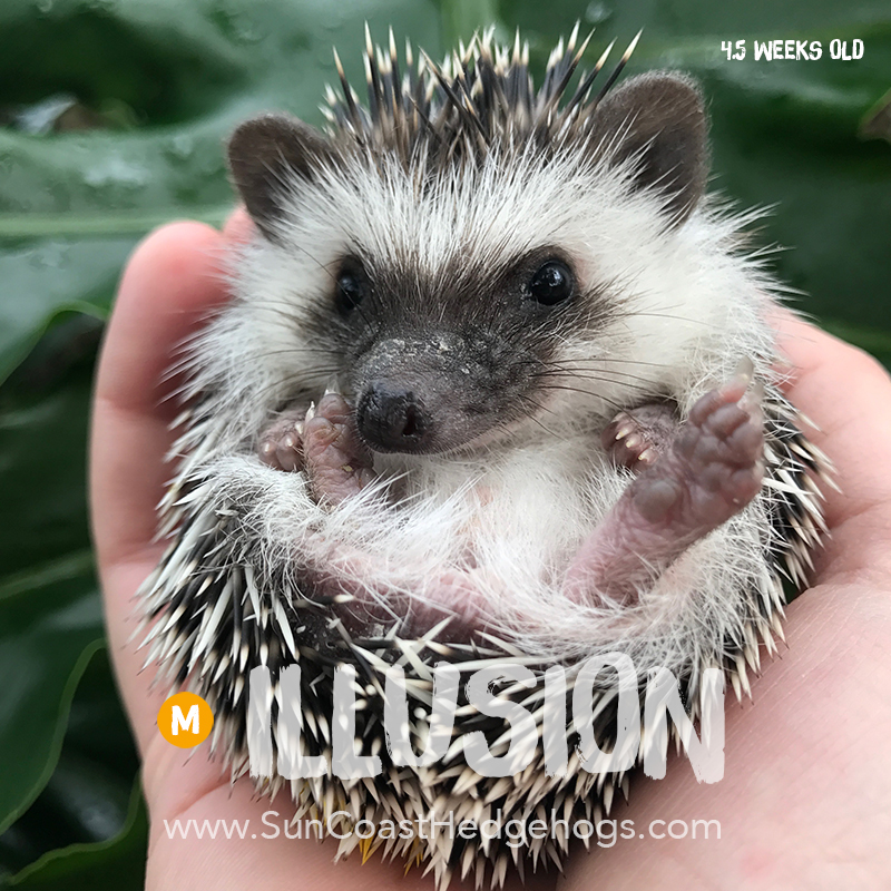 BlackPinto - Hedgehog for Sale - Illusion