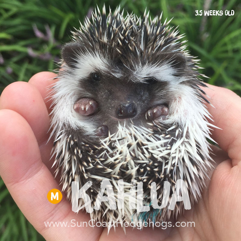BlackPinto - Hedgehog for Sale - Kahlua