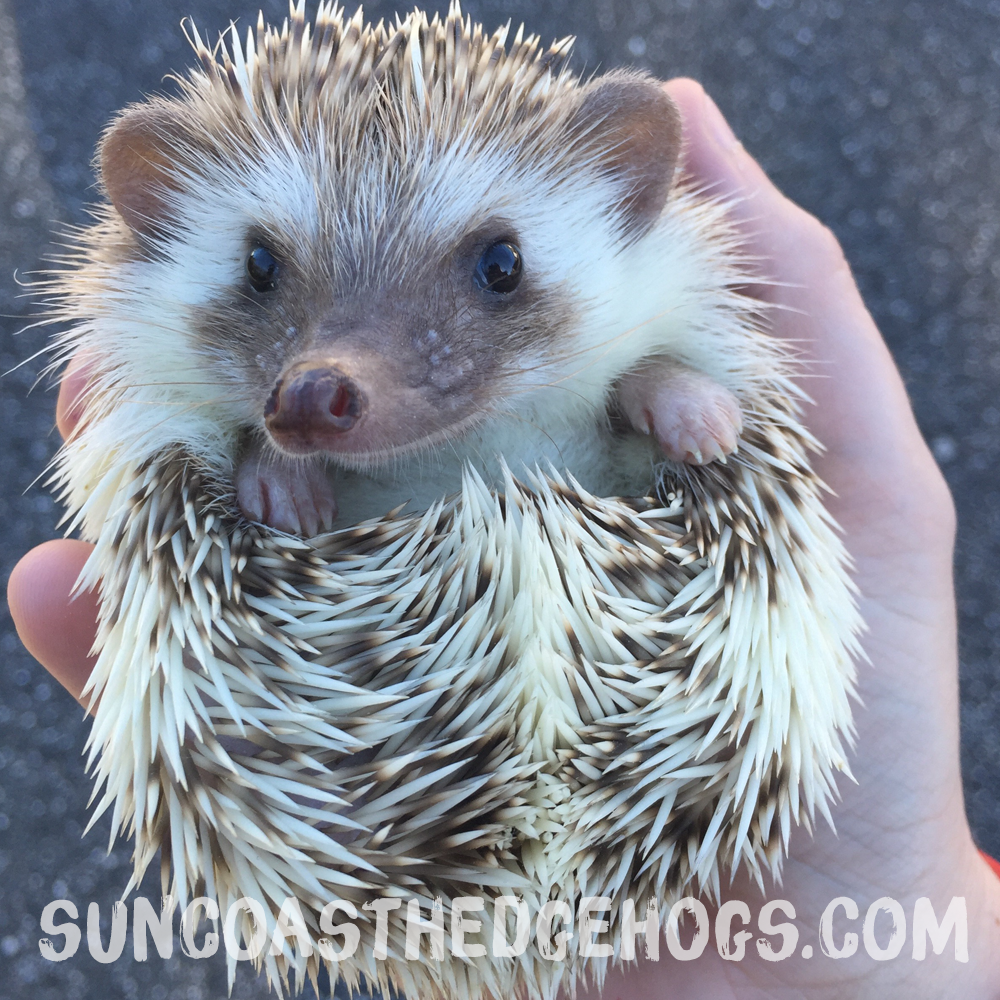 ChocolatePinto - Our Hedgehog - Willow