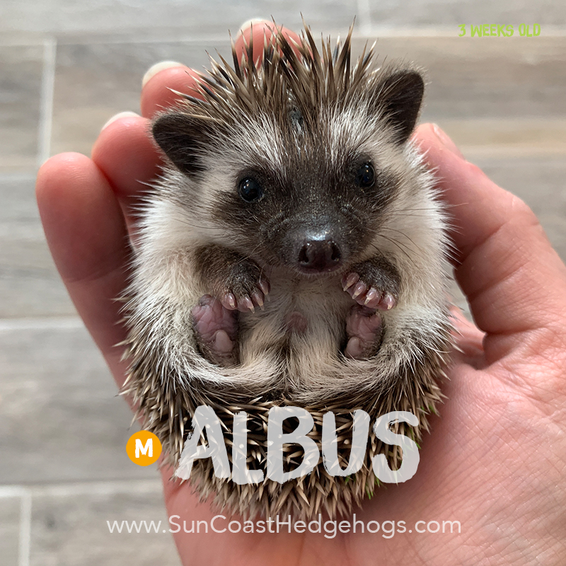 Grey - Hedgehog for Sale - Albus