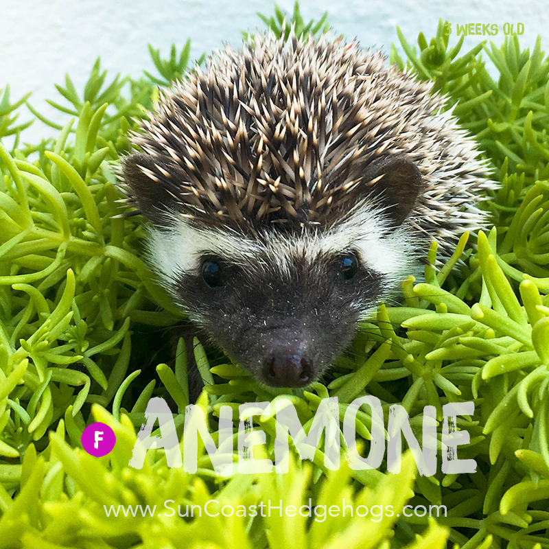 More pictures of Anemone