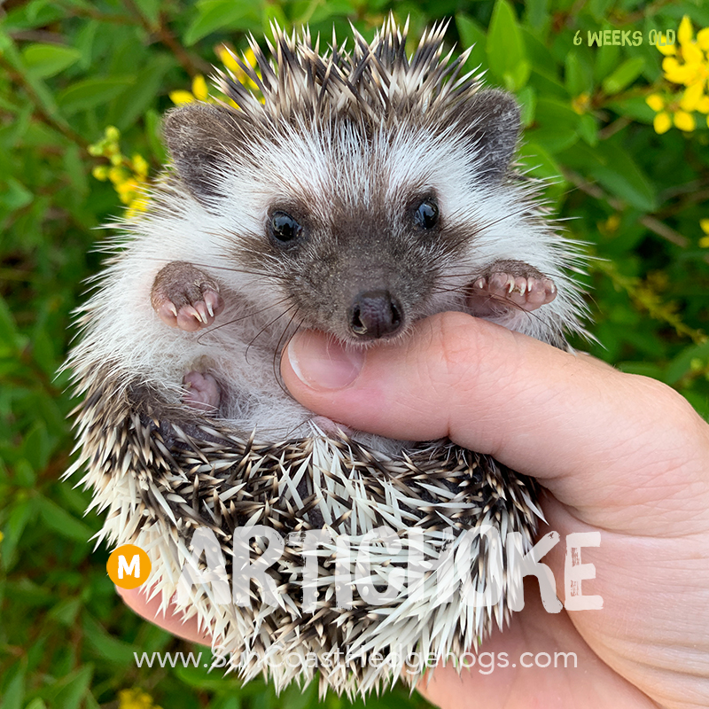 GreyPinto - Hedgehog for Sale - Artichoke