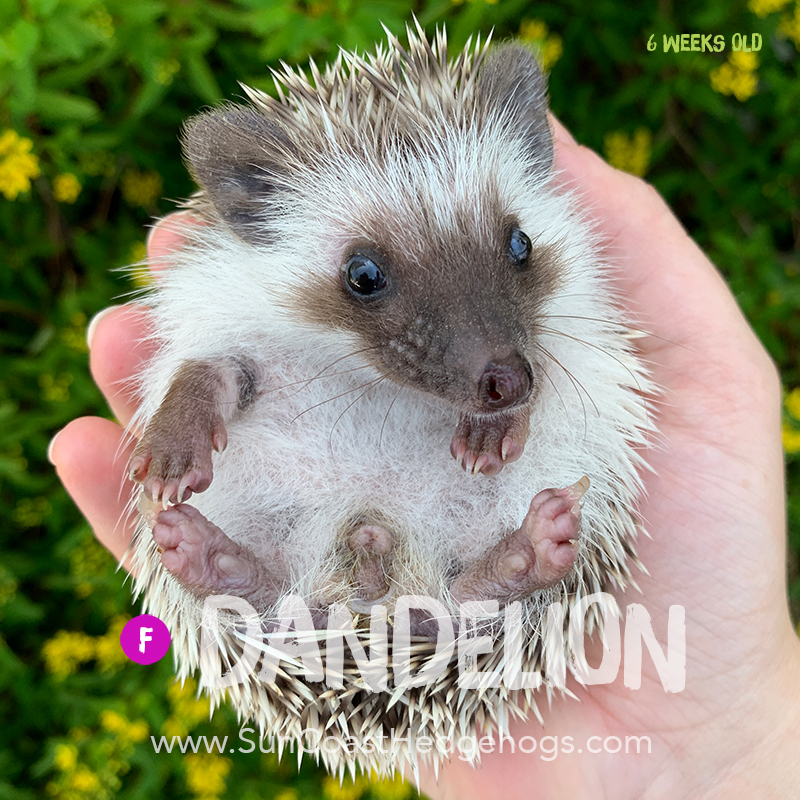 More pictures of Dandelion