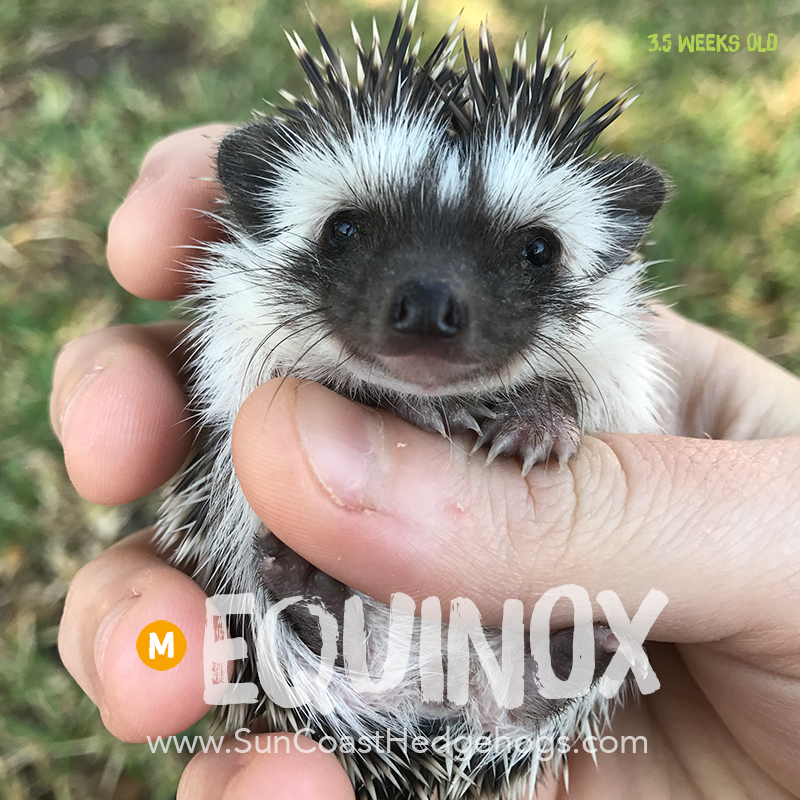BlackPinto - Hedgehog for Sale - Equinox