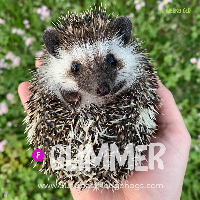 GreyPinto - Hedgehog for Sale - Glimmer