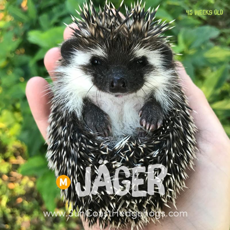 Black - Hedgehog on Hold - Jäger