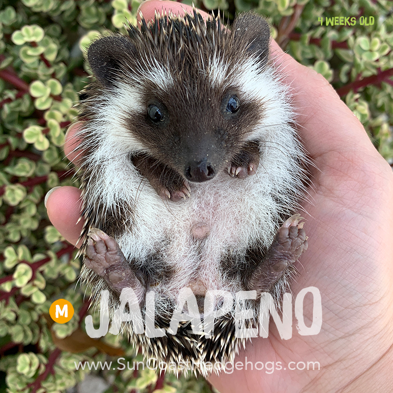 More pictures of Jalapeno