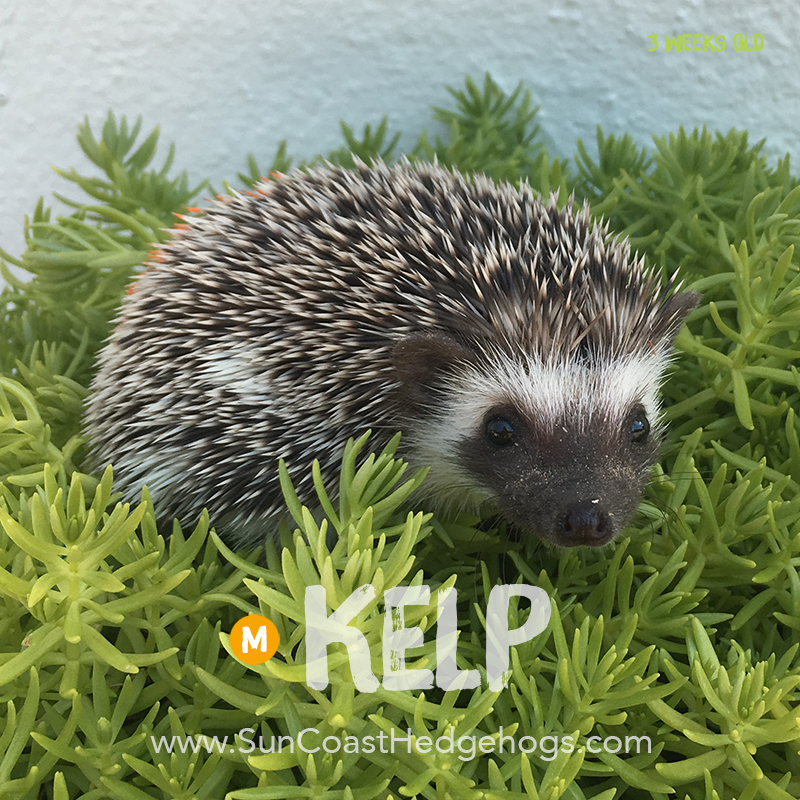 GreyPinto - Hedgehog on Hold - Kelp