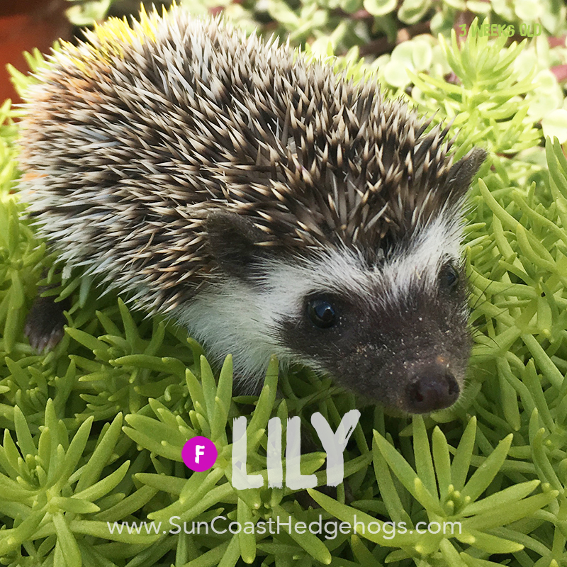 GreyPinto - Hedgehog on Hold - Lily
