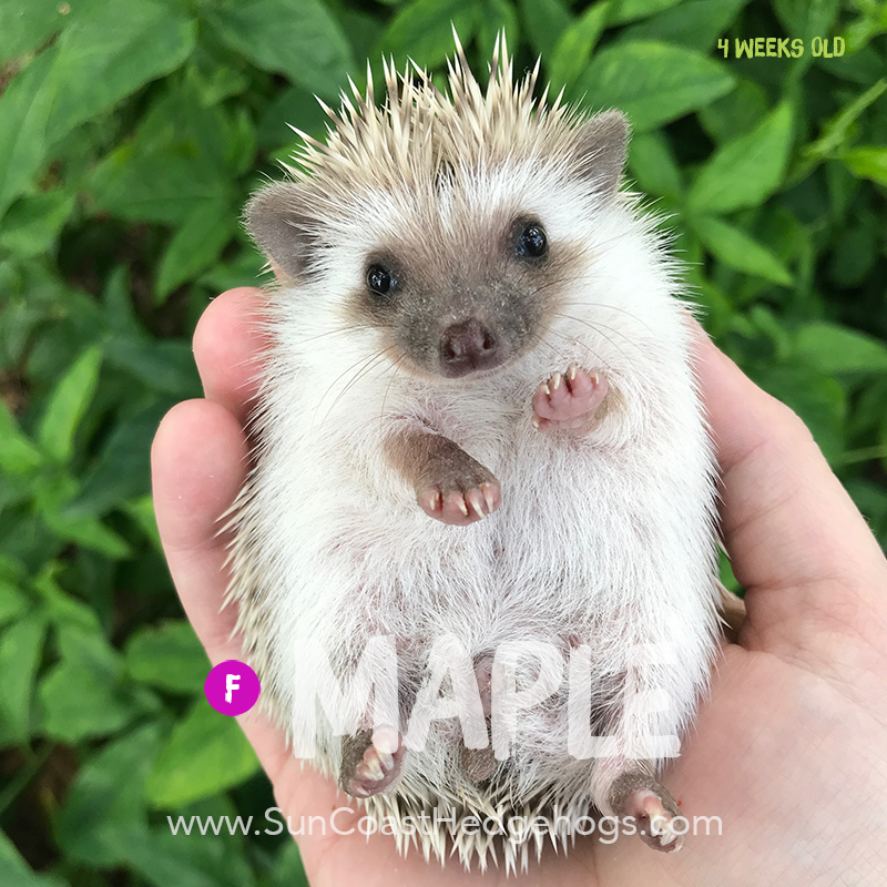 Cinnamon - Hedgehog on Hold - Maple