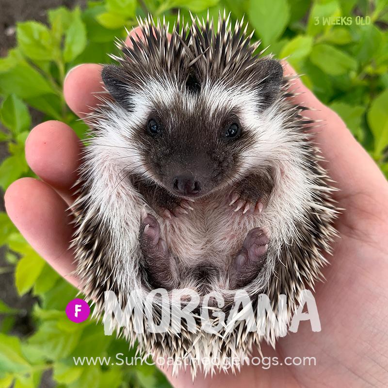 GreySnowflake - Hedgehog on Hold - Morgana