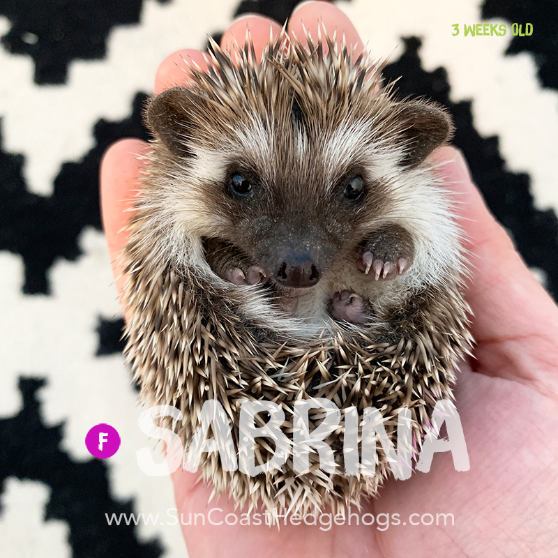 Grey - Hedgehog for Sale - Sabrina