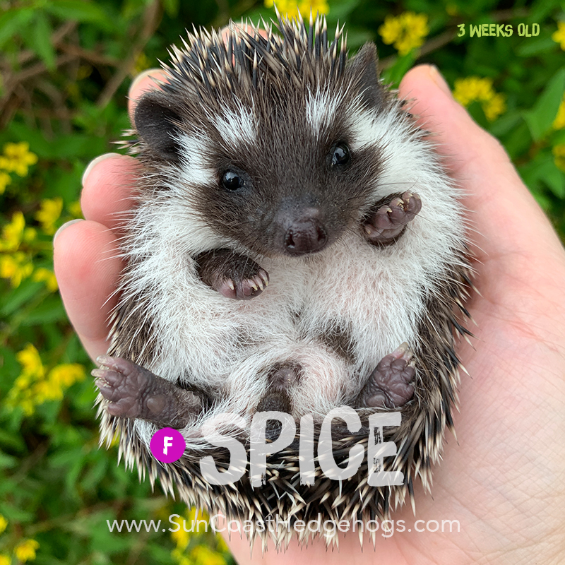 Black - Hedgehog for Sale - Spice