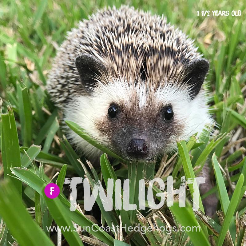 Black - Hedgehog for Sale - Twilight
