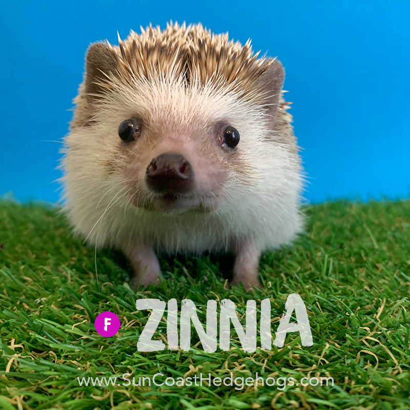 More pictures of Zinnia