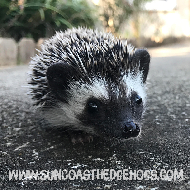 Black - Our Hedgehog - Julep
