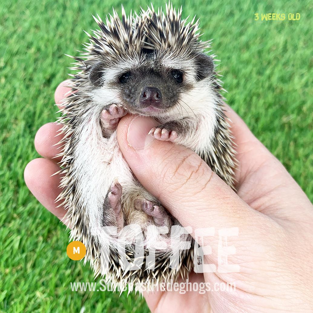 Grey - Hedgehog on Hold - Toffee