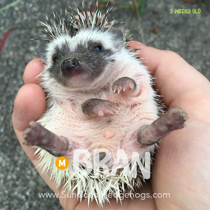 GreyPinto - Hedgehog for Sale - Bran