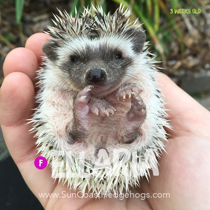 GreyPinto - Hedgehog for Sale - Ellaria