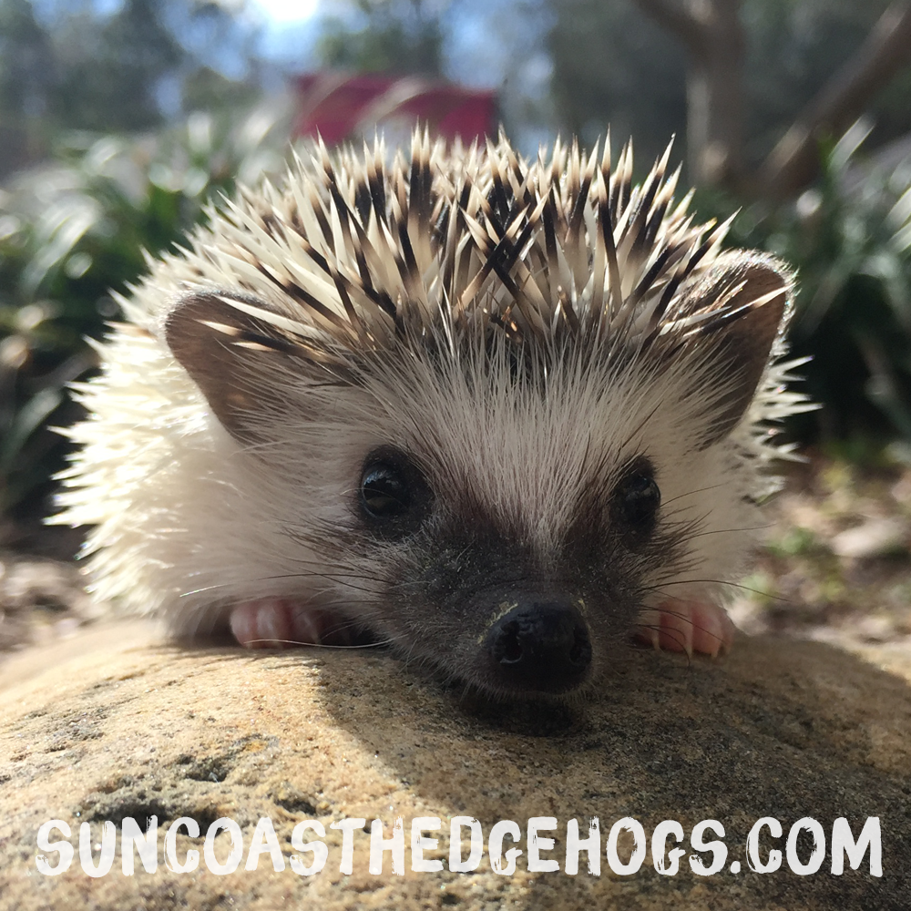 GreyPinto - Hedgehog for Sale - Truffles