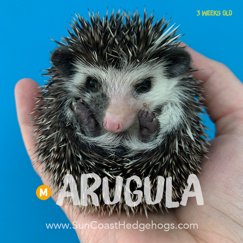 More pictures of Arugula