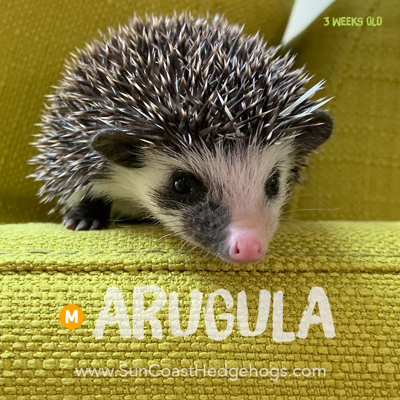 Black - Hedgehog on Hold - Arugula