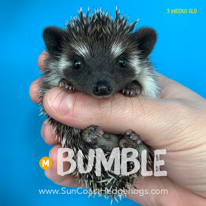 Black - Hedgehog on Hold - Bumble