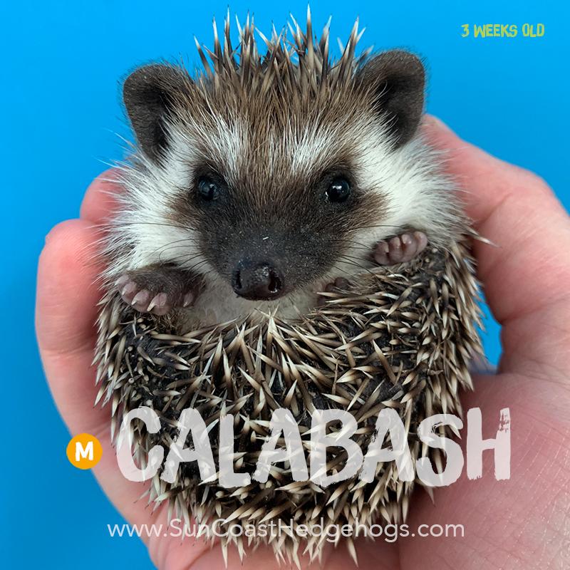Grey - Hedgehog on Hold - Calabash