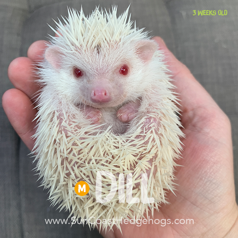 Albino - Hedgehog for Sale - Dill