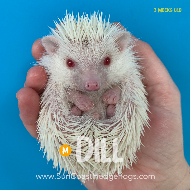 More pictures of Dill