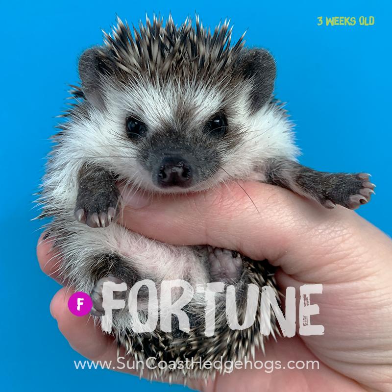 GreyPinto - Hedgehog on Hold - Fortune