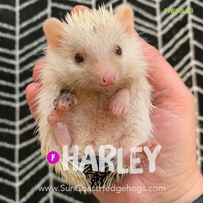 BlackPinto - Hedgehog on Hold - Harley