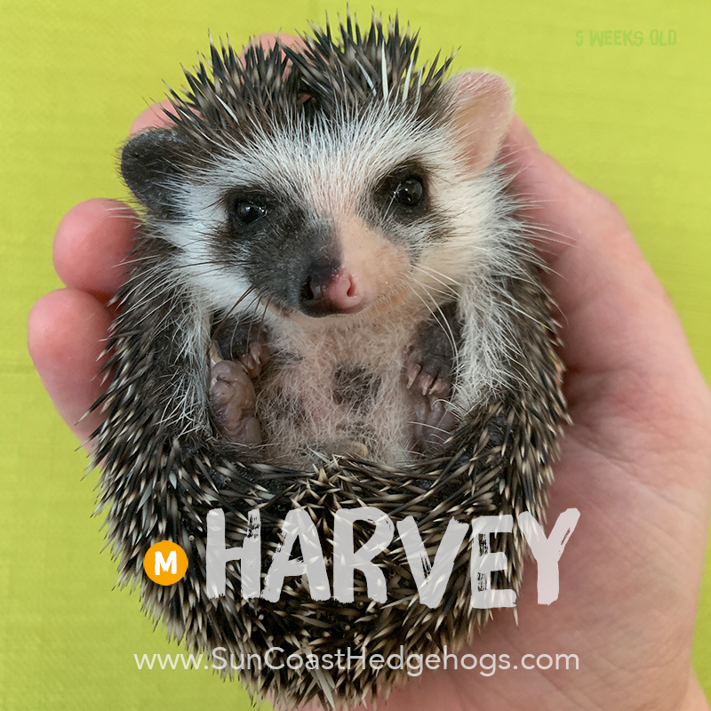 BlackPinto - Hedgehog on Hold - Harvey