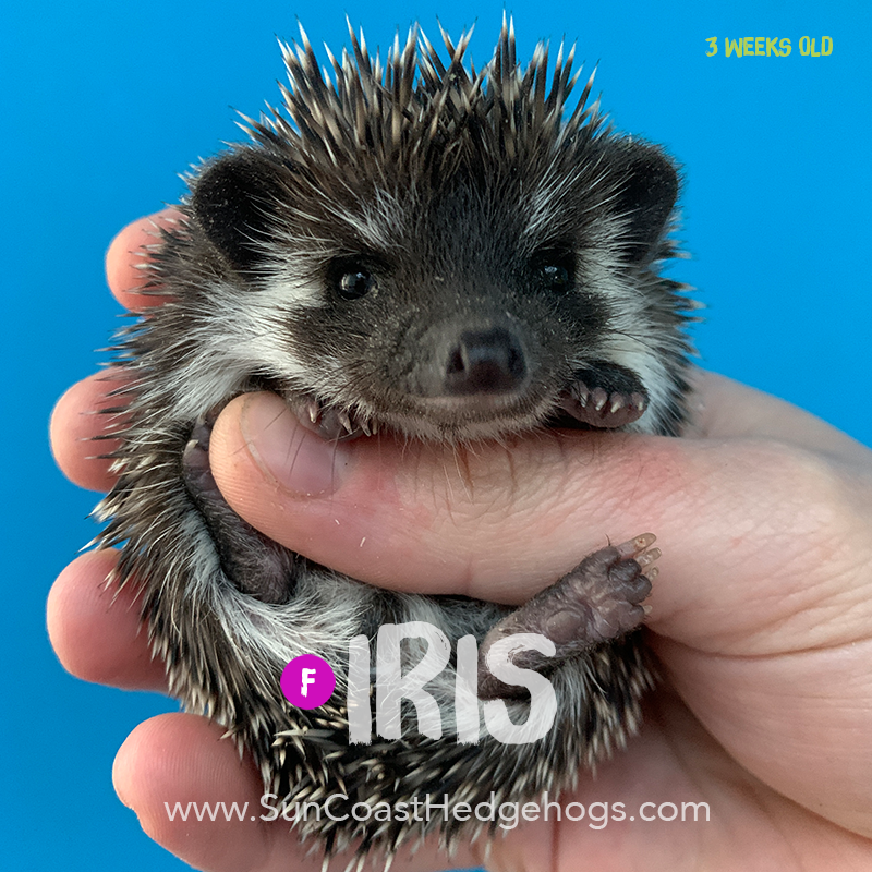 Black - Hedgehog on Hold - Iris