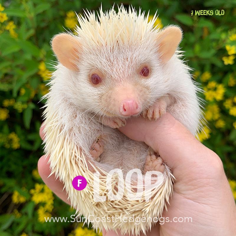 Albino - Hedgehog for Sale - Loop