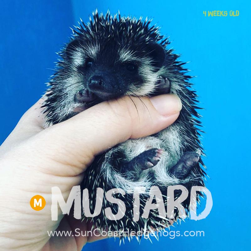 Black - Hedgehog on Hold - Mustard