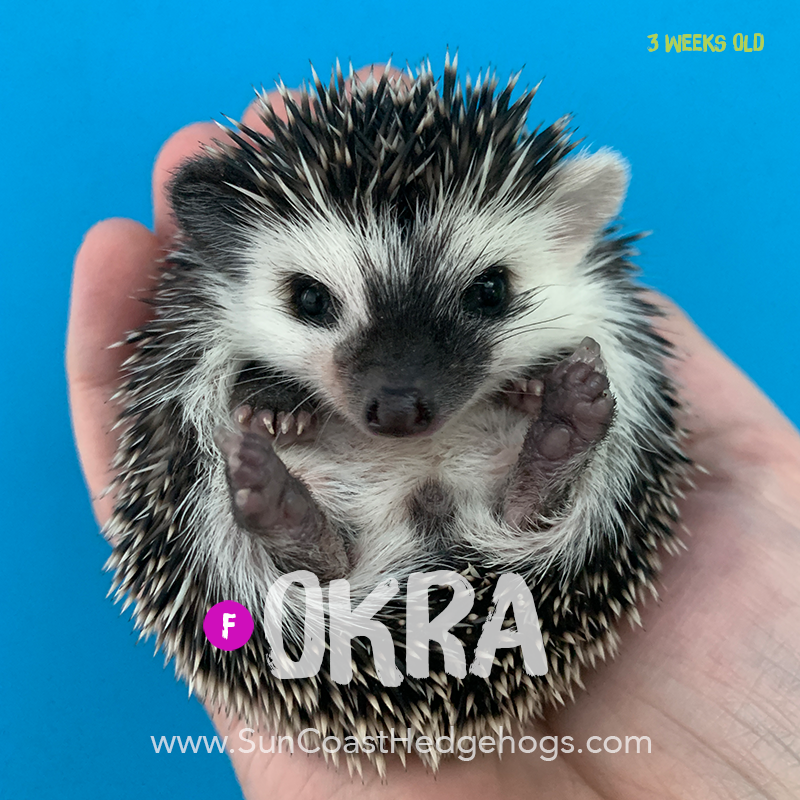 Black - Hedgehog for Sale - Okra