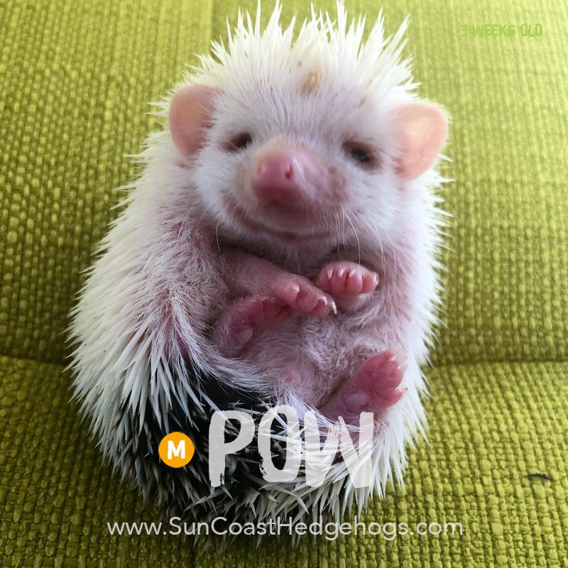 BlackPinto - Hedgehog on Hold - Pow
